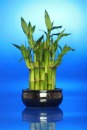 Lucky Bamboo House Plant